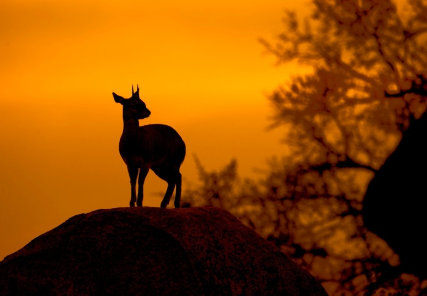 Klipspringer in Sunset