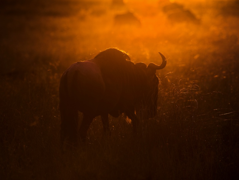 Wildebeest in the morning light