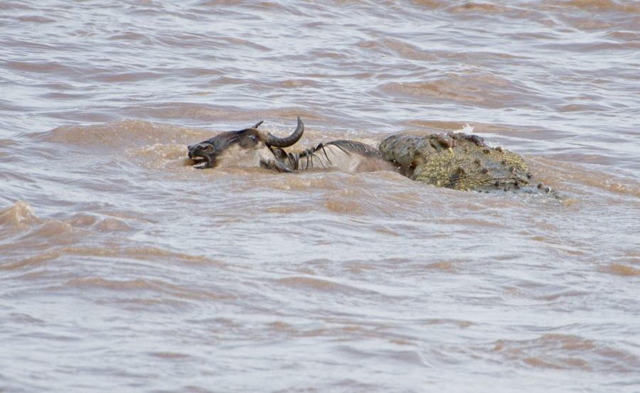Crocodile attack